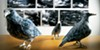 Strange birds of <i>oddment[s]</i>