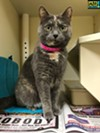 "#A292361 ""Miss Kitty"" Female, 6 years, 6 lbs Intake: 12/13/16 Review Date: 12/17/16 I'm located at Memphis Animal Services  901-636-1416 Ext 2"