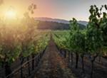 Napa Valley Wine Harvest