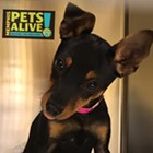 "Each week, the Flyer will feature adoptable dogs and cats from Memphis Animal Services. All photos are credited to Memphis Pets Alive. More pictures can be found on the <a href=""https://www.facebook.com/MemphisPetsAlive/"" target=""_blank"">Memphis Pets Alive Facebook page.</a><br>"