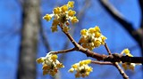 9d23e244_edgeworthia_flowers_asian.jpg