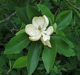 9b607f28_sweetbay_magnolia_magnolia_virginiana_flower_closeup_2146pxlr.jpg