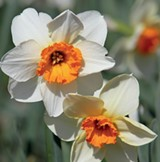 ce1869bd_daffodils.jpg
