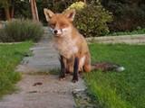 fox_jpg-magnum.jpg