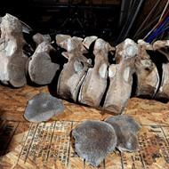 ICYMI: Michigan man discovers 10,000-year-old mastodon bones in yard