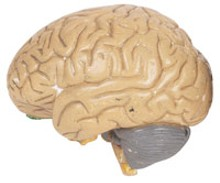 brainjpg