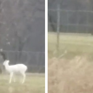 Video captures rare all-white deer spotted in Milford