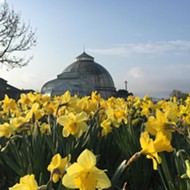 Grand Prix coordinators offer consolation prize to Belle Isle goers: Daffodils