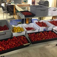 Penrose Market Garden selling fresh tomatoes today