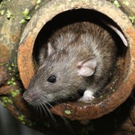 Detroit is in the top ten most rat infested sites in America