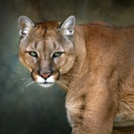 Lansing area cougar sighting confirmed by state
