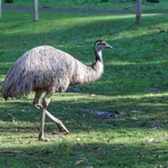 There is an emu on the loose in metro Detroit