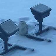 A snowy owl made itself at home on Dan Gilbert's One Campus Martius Building