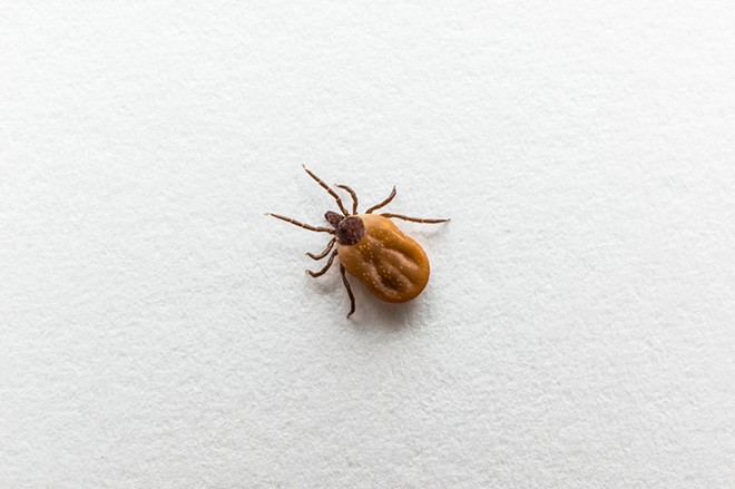 A blood-filled tick. - SHUTTERSTOCK