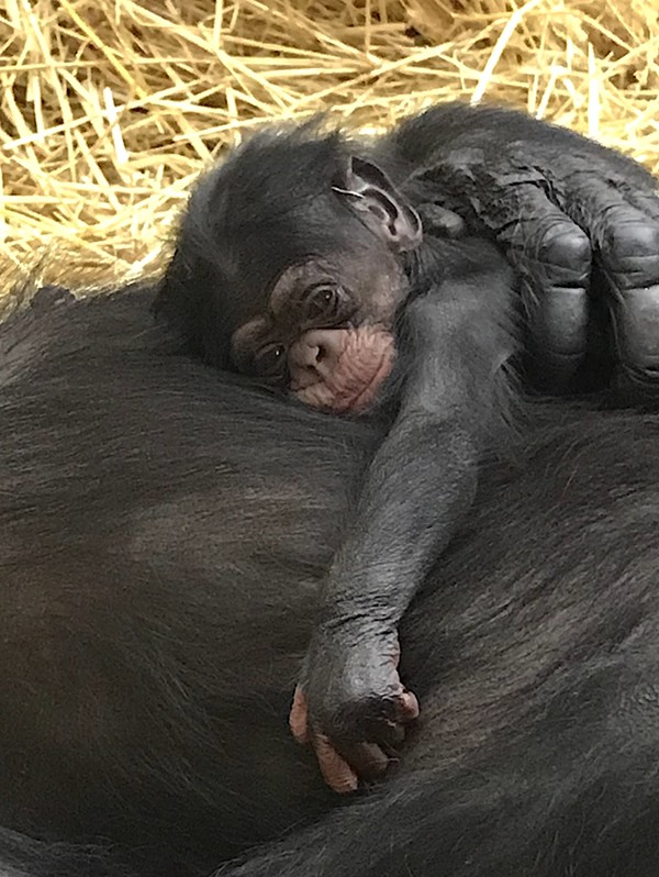 The Detroit Zoo's newborn chimp, Jane. - DETROIT ZOOLOGICAL SOCIETY