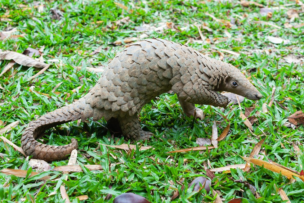 This is a pangolin. - SHUTTERSTOCK