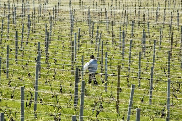 A migrant worker walking across vineyard in northern Michigan. - SHUTTERSTOCK
