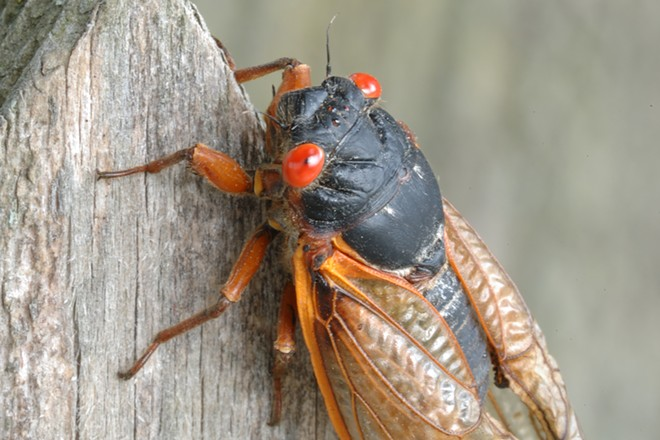 The cicadas in Brood X are distinguished by their black exoskeletons and red eyes. - JANETANDPHIL / FLICKR