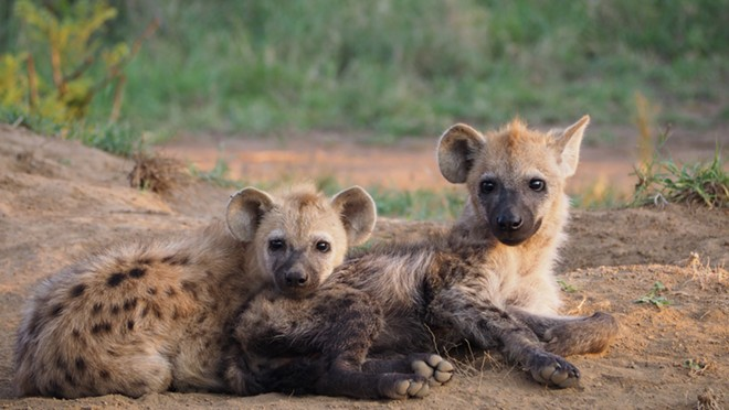 These are real baby hyenas. - SHUTTERSTOCK