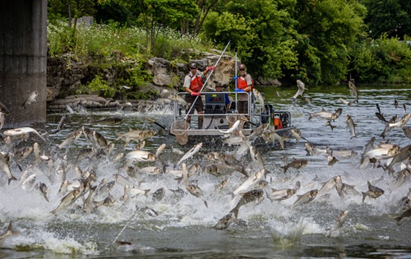 Silver carp jumping in the Fox River in Illinois. - RYAN HAGERTY/U.S. FISH AND WILDLIFE SERVICE