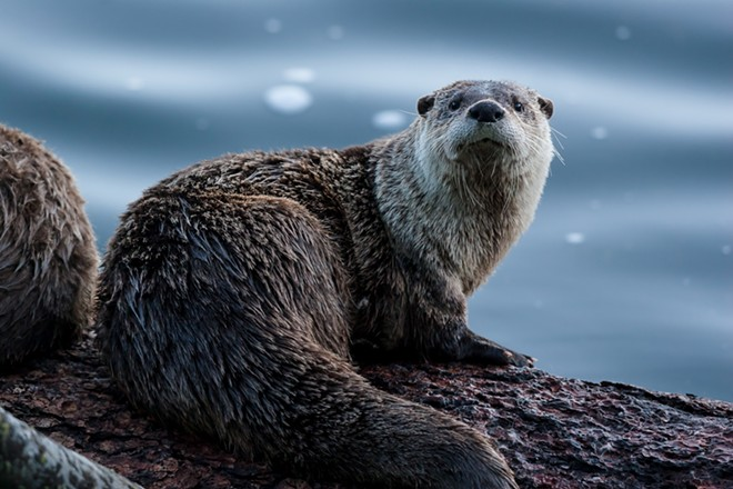 The most adorable little otter you ever did see. - SHUTTERSTOCK