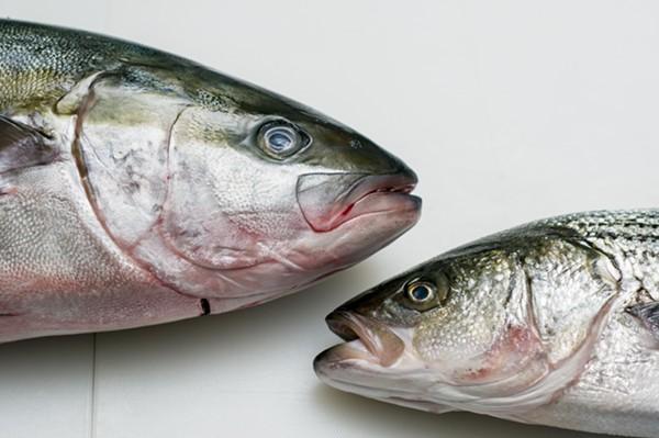 Yellowtail Hiramasa (left) and striped bass at Motor City Seafood. - TOM PERKINS