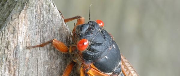Brood X cicadas will soon emerge in Michigan after 17 years underground