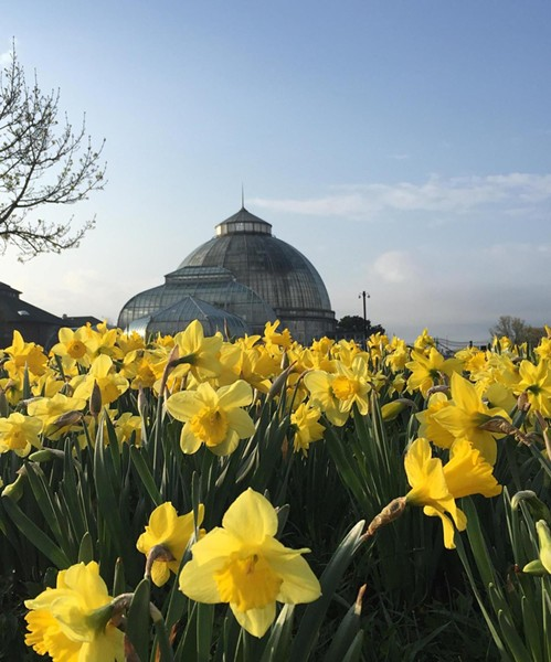 Daffodils on Belle Isle. - MICHIGAN.GOV
