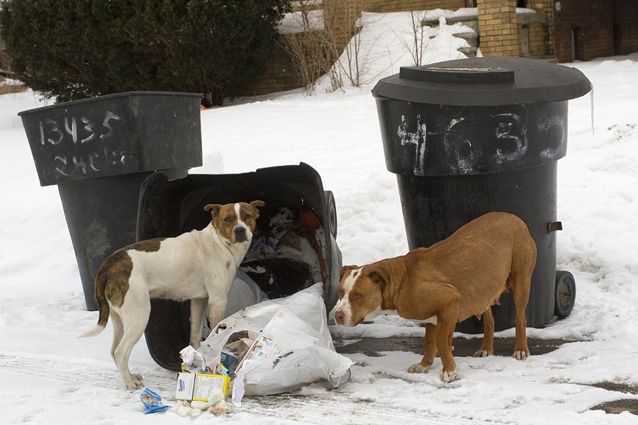 Rhino, right, and another dog rummage through trash in Detroit in February 2015. - STEVE NEAVLING