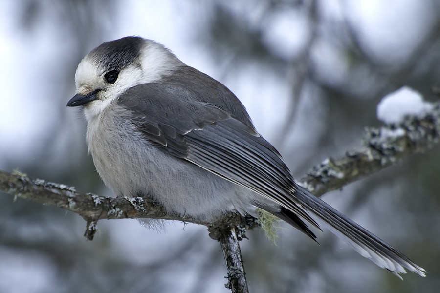 The grey jay, who didn't ask to be a part of this discussion. - SHUTTERSTOCK