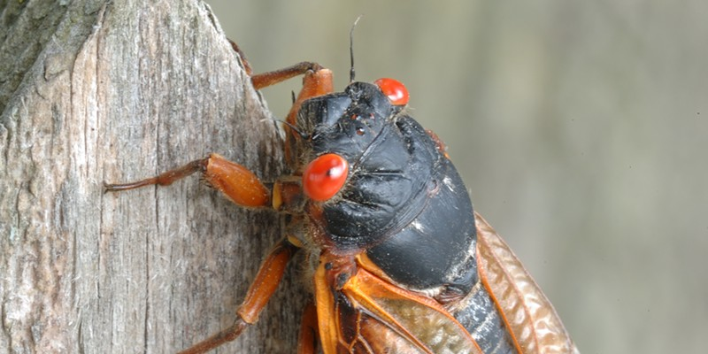 The cicadas in Brood X are distinguished by their black exoskeletons and red eyes.