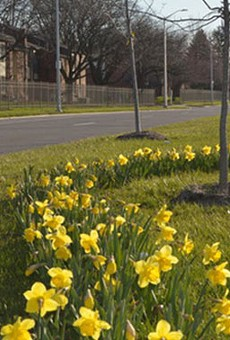 Spring is finally here, and Detroit has the daffodils to prove it
