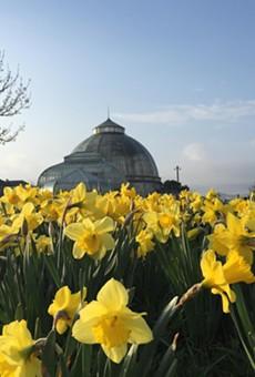 Daffodils on Belle Isle.