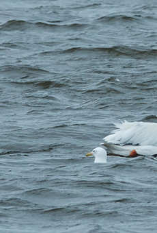 Now Michigan is being invaded by pelicans