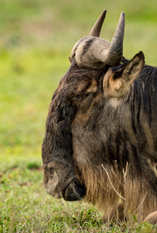 A white-bearded wildebeest.