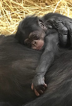 The Detroit Zoo's newborn chimp, Jane.