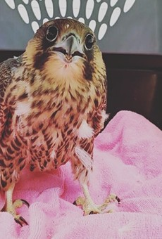 Brother of the injured peregrine falcon chick.