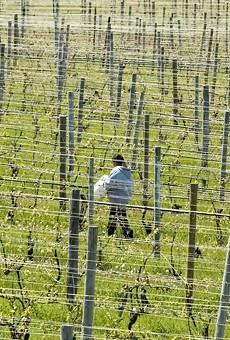A migrant worker walking across vineyard in northern Michigan.