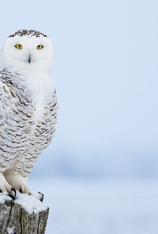 Locals say they're spotting snowy owls in downtown Detroit