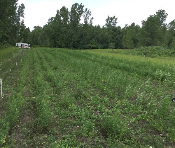 Marijuana plants were mixed with other crops to evade detection. - PHOTO COURTESY OF SANILAC DRUG TASK FORCE