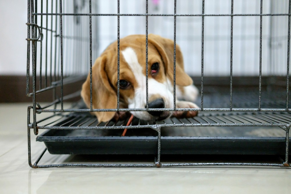 Humane Society alleges Michigan animal lab force-fed beagles