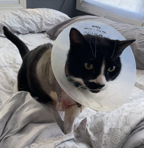 Vega recovering from a pellet gunshot to the chest and a shattered front leg, which was amputated. - AMY HANSELMAN