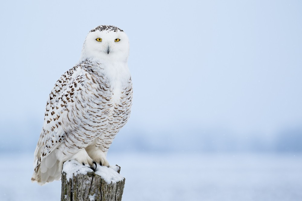 Locals Say They Re Spotting Snowy Owls In Downtown Detroit