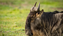 Detroit Zoo brings back wildebeests after 79 years