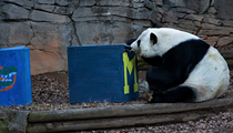 Wise panda chews on box, predicts U-M will be Chick-fil-A Peach Bowl winner