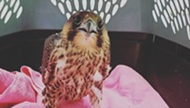 Wayne State Police rescue concussed peregrine falcon chick