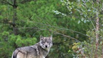 Detroit Zoo's latest addition is a gray wolf named Renner and she's a good girl