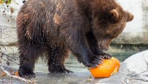 Animals at the Detroit Zoo are playing with pumpkins today and it's adorable