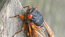 Brood X cicadas will soon emerge in Michigan after 17 years underground