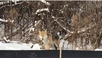 Coyote spotted on Belle Isle — and it's not the first time